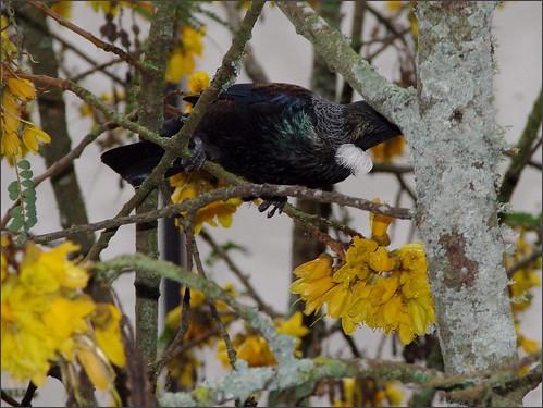Tui and Kowhai - New Zealand endemic
