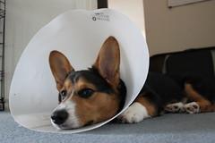 puppy(0.0), animal(1.0), dog(1.0), pet(1.0), mammal(1.0), pembroke welsh corgi(1.0), welsh corgi(1.0), basenji(1.0),
