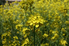 canola, flower, field, yellow, sunlight, mustard plant, brassica rapa, plant, mustard, subshrub, herb, wildflower, flora, rue, produce, crop, rapeseed,