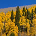 Autumn Transition and aspen tree biology