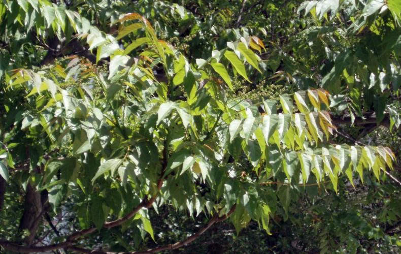 Ailanthus altissima 5109939028_67758eac99_o