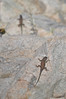 "<a href=""http://www.flickr.com/photos/skipr/5173833276/"">Photo of Sceloporus jarrovii by skuarua</a>"