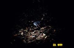Coral Billed Cuckoo