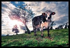 Une vache à Camembert