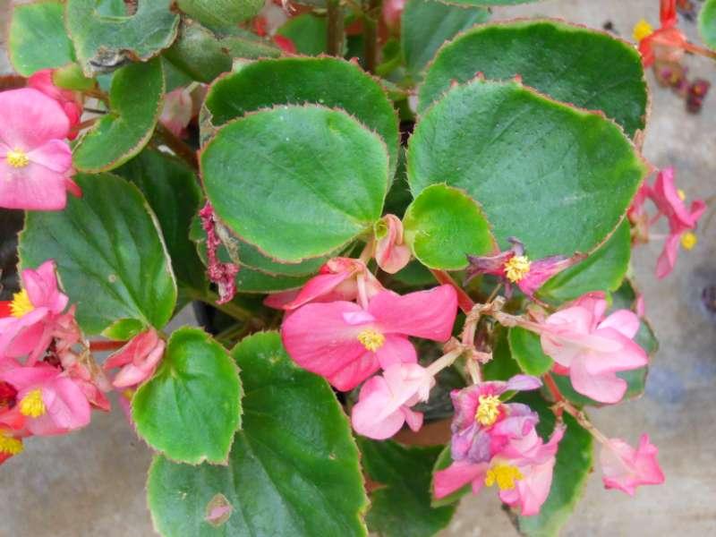 Begonia semperflorens 4