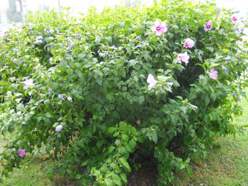 Hibiscus syriacus 'Coelestis' 3
