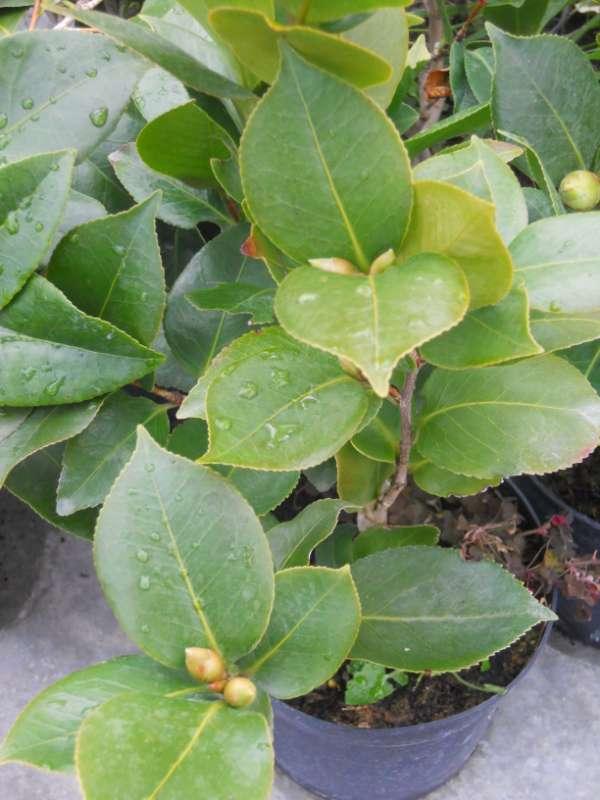 Camellia japonica v 2