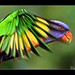 In the glimpse of an eye.... Rainbow Lorikeet inflight