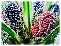 Captivating fruits of Elaeis guineensis (Oil Palm, African Oil Palm, Kelapa Sawit) in varying colours, 1 July 2017