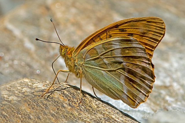 Argynnis paphia - the Silver-washed Fritillary (male)