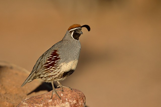 Gambel's Quail, Canon EOS-1D X, Canon EF 600mm f/4L IS