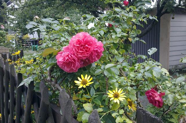 pflanzen rose kletter rose 39 laguna 39 0109201001 flickr photo sharing. Black Bedroom Furniture Sets. Home Design Ideas