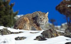 animal, small to medium-sized cats, mammal, lynx, fauna, cat, wild cat, whiskers, bobcat, wildlife,