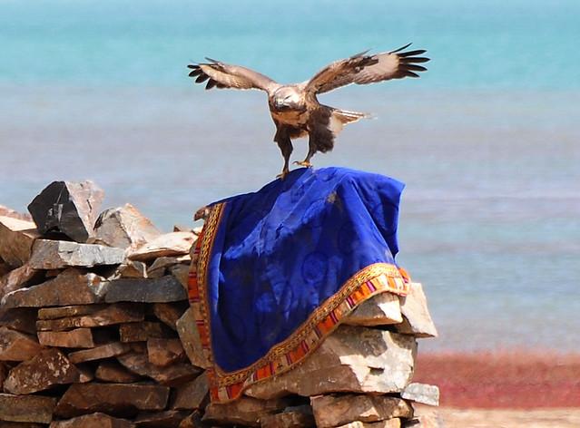 Buteo hemilasius,Upland Buzzard, od ser / Oser ཨོད་སེར། ,Ngoring tso, Mato county, Tibet