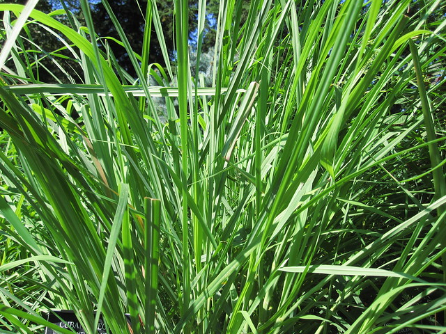 Lemon grass (Cymbopogon citratus) in the Fragrance Garden. Photo by Rebecca Bullene