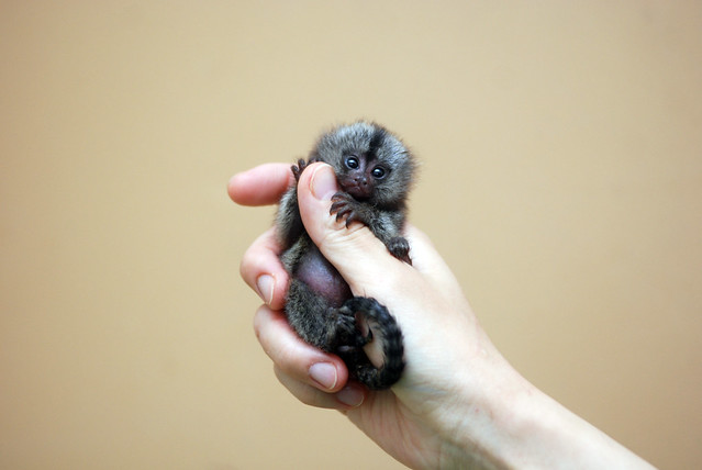 Marmoset monkey