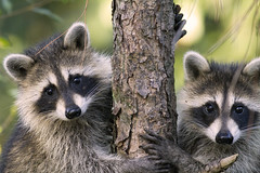 Wild Raccoon Cubs - Hold My Hand