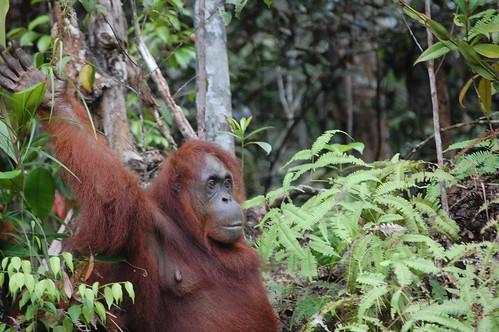 Orangutan Kuching Borneo Malaysia