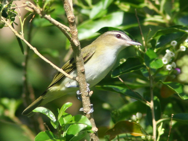 Red-eyed Vireo 2-20100922