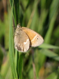 Skipper Moth