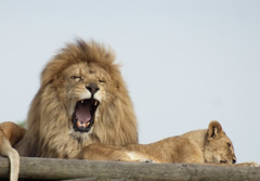 animal, mane, big cats, masai lion, lion, mammal, roar, fauna, yawn, wildlife,