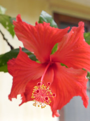 flower, red, malvales, macro photography, flora, chinese hibiscus, petal,