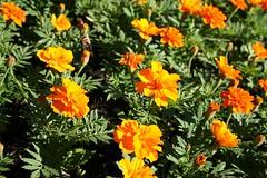 annual plant, calendula, flower, plant, herb, wildflower, flora,