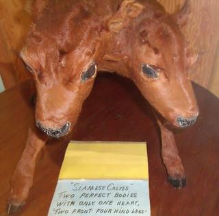 Siamese Calves