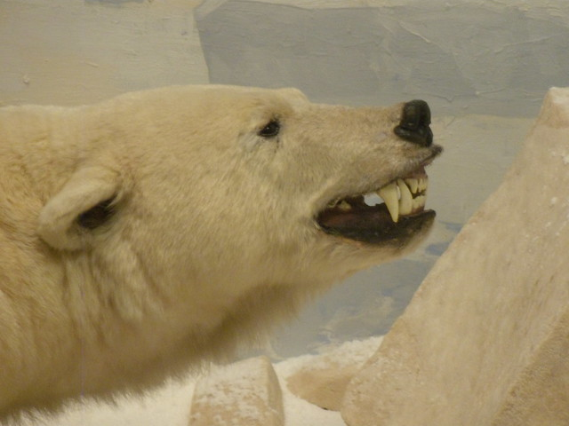Polar Bear | Flickr - Photo Sharing!