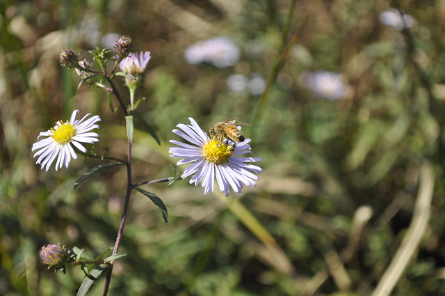 Aster blooms provide late-season nectar for pollinators. Photo by Anjali Satyu.