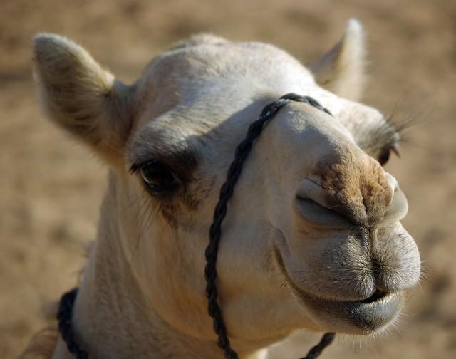 Non tourist camel, Liwa Desert