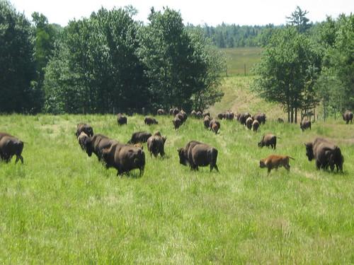 ranch canada buffalo farm newbrunswick bison herd bouctouche seawind