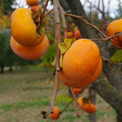 fruit tree, branch, yellow, tree, common persimmon, flora, fruit, persimmon,