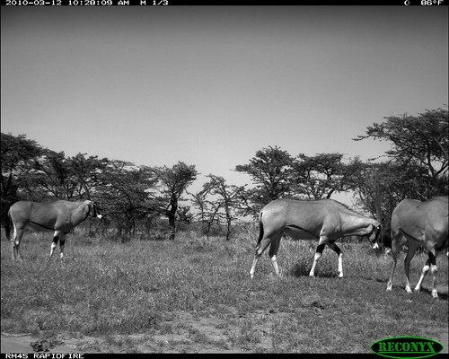mpala oryxbeisa deerandantelope siwild:study=mpala siwild:studyId=mpalasets siwild:plot=oljogi geo:locality=kenya taxonomy:group=deerandantelope siwild:date=201003121028000 siwild:imageid=kenyapic6589 siwild:location=mpala239 siwild:camDeploy=mpaladeploy688 taxonomy:species=oryxbeisa taxonomy:common=besiaoryx siwild:trigger=oljogiseq1234 file:name=img0577jpg file:path=dpt37pt37cam62disc28bimg0577jpg besiaoryx sequence:index=40 sequence:id=oljogiseq1234 sequence:length=60 geo:lon=0357232 geo:lat=37045574 sequence:key=30 siwild:region=kenya BR:batch=sla0620101118055537 siwild:species=197