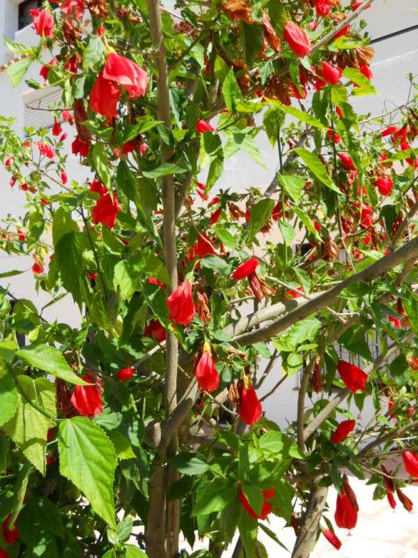Malvaviscus arboreus v 2