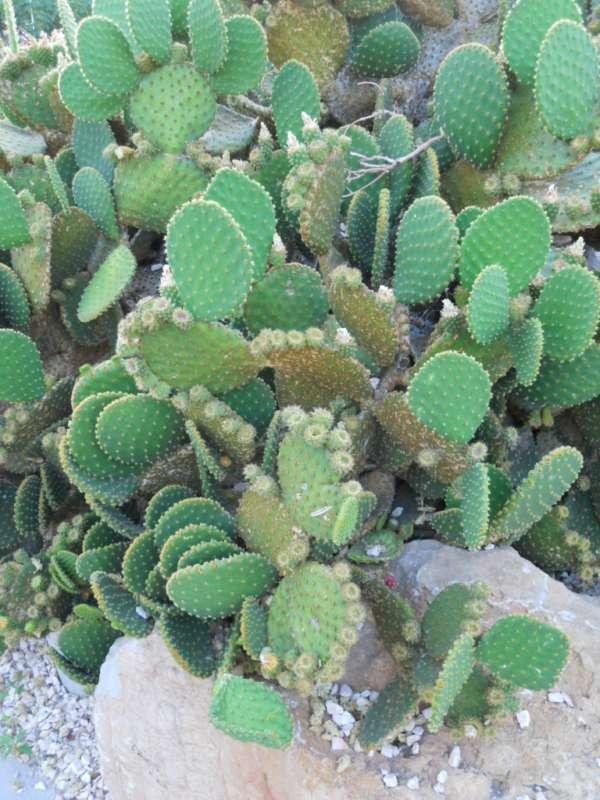 Opuntia microdasys 'Rufida' v 1