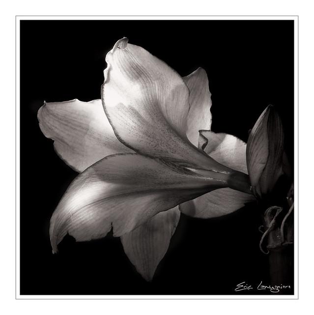 Fleurs noir et blanc flowers black and white a Fleur noir et blanc