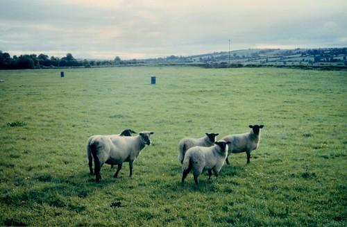 sheep, late afternoon, Irish midlands