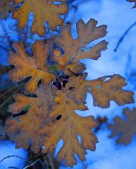 flower(0.0), branch(1.0), leaf(1.0), tree(1.0), plant(1.0), maple leaf(1.0), autumn(1.0),
