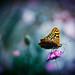 Butterfly by Ali Mahfoodh