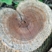 Small photo of Heart stump