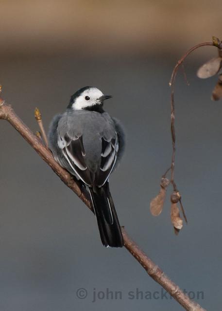 Pied Wagtail - Lavandera de Yarrell (Motacilla alba yarrelli)