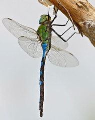 Emperor Dragonfly (Anax imperator) male resting ...