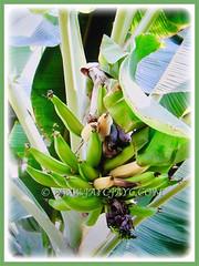Fruits of Musa acuminata (Dwarf Cavendish Banana, Ornamental Banana, Pisang Serendah) ripening in stages, 6 July 2017