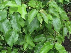 Gouania vitifolia