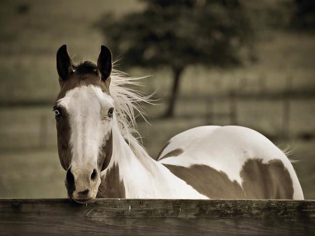 Horse Eyes Painting Blue Eyed Paint Horses