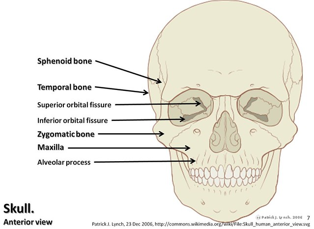 Skull diagram, anterior view with labels part 2 - Axial ...