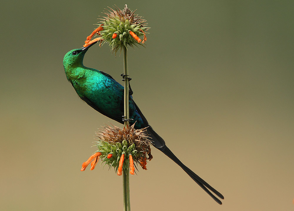 Malachite Sunbird - Photo (c) Steve Garvie, some rights reserved (CC BY-SA)