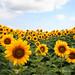 Sunflower farm - Hokkaido, Japan by Pic_Joy