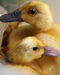 Indian Runner Ducklings
